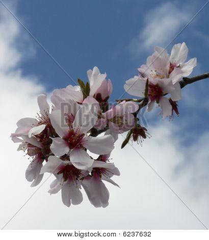 Sprig Of Blossom