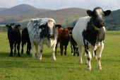 A group of curious cows in pasture poster