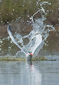 A Caspian Tern (Hydroprogne caspia) resurfacing after impressive impact poster