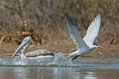 A Caspian Tern (Hydroprogne caspia) taking to the air after a dive with a pink-backed pelican watching poster
