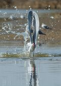 A Caspian Tern (Hydroprogne caspia) with wings straight up splash taking to the air after a dive poster