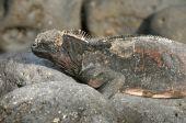 land iguana of the Galapagos islands, Ecuador, South America poster