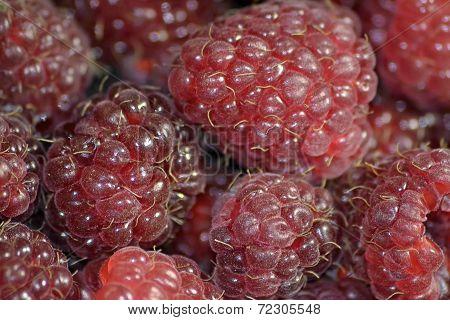 High-quality red garden appetizing raspberries