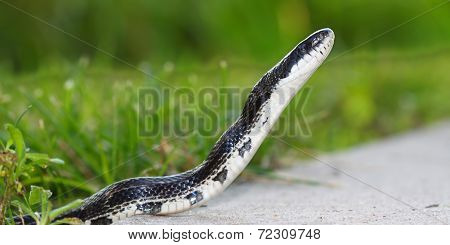 Rat Snake on a summer day in Illinois.\n** Note: Shallow depth of field