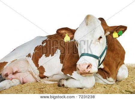 Happy pedigree cow