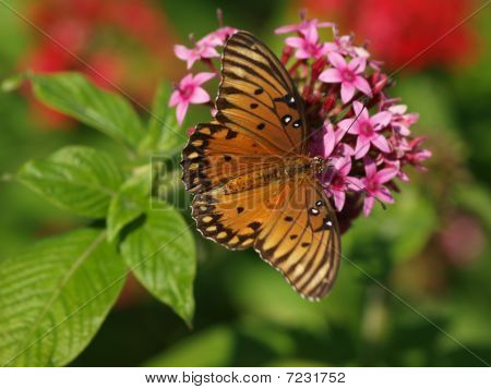 The Gulf Fritillary Butterfly