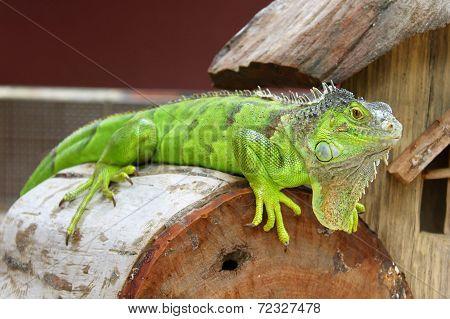 Green Iguana In Terrarium