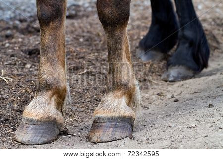 closeup of a horse's hooves, brown and black horse