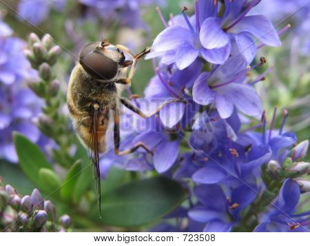 Bee On Blue Flower