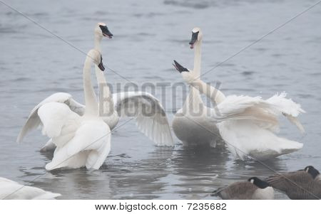 Group of Conflicting Trumpeter Swans (Cygnus buccinator) - Wild male trumpeter swans fight over two female trumpeter swans - focus on swan throwing off feathers and wate droplets (rightmost swan) poster