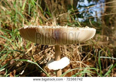 Gills Of A Big Mushroom