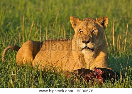 Lioness With Food