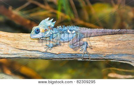 Portrait of tropical iguana sits on a branch, Australia.