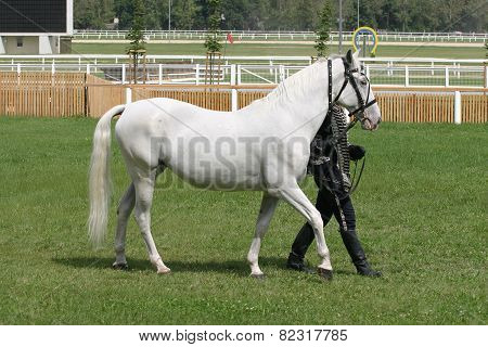 Beautiful Young Purebred Gray Arabian Mare With Her Trainer
