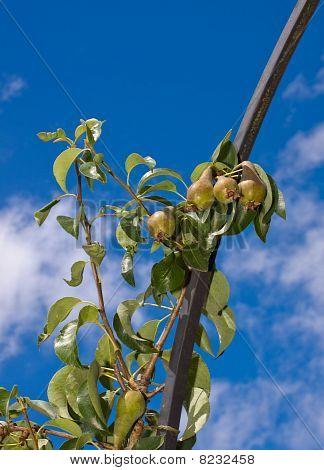 Pear Tree On Metal Frame