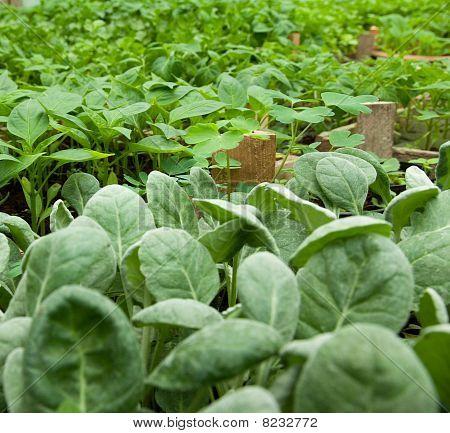 Cabbage & Paprika