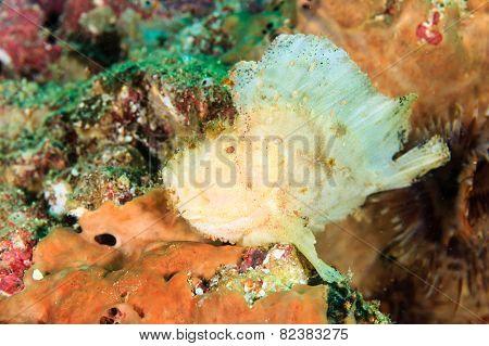 Leaf Scorpionfish