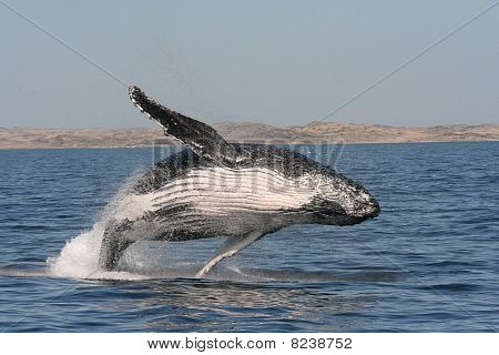 Humpback Whale breaching in Shearwater Bay outside Luderitz. poster