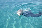 Bottle-nosed dolphin with it's head out of the water in the Red sea. poster