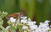 A Silver-Spotted Skipper Butterfly Sucking Nectar from a flower in a garden. The butterfly tongue is clearly seen inserted into the flower. poster
