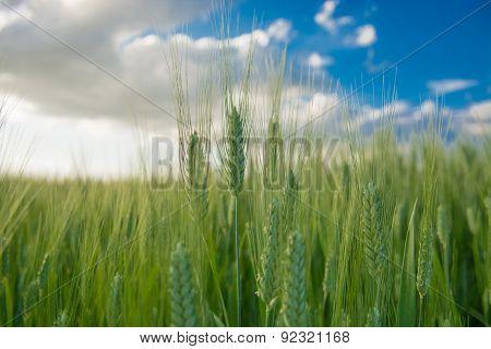 The Grain In The Val Di Chiana In Cortona