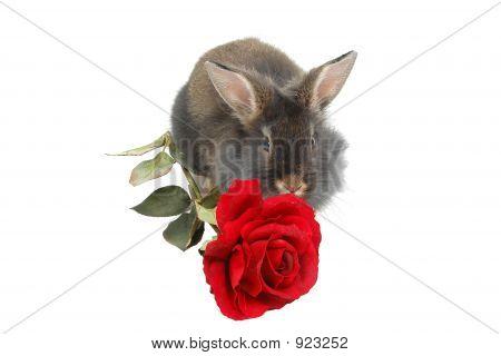 Romantic Lion Rabbit