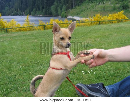 Puppy Chihuahua And Spring Nature