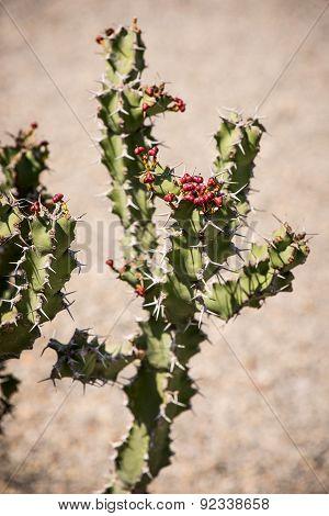 Euphorbia caerulescens plant