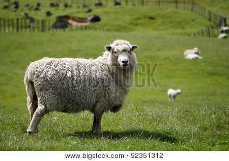 poster of Big fluffy sheep or lamb grazing green fields of New Zealand while looking into the camera.