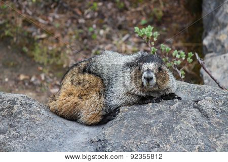 Marmot Resting On A Stone Looking Into Camera