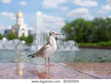 Bird Seagull In A City Park. Russia, Moscow, Poklonnaya Hill.
