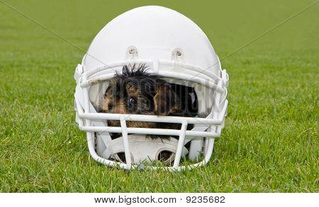 Football helmet and Yorkshire Terrierre