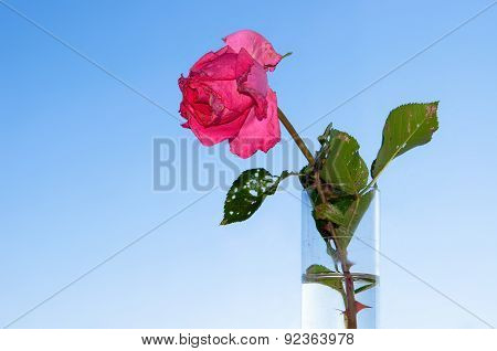 Withered Rose In Test-tube On Background Blue Sky. Symbol Of Love Ending