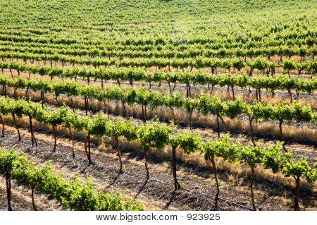 Clare Valley Grape Vines