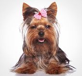 adorable little yorkshire terrier puppy dog looking sleepy with eyes cloed is smiling to the camera poster