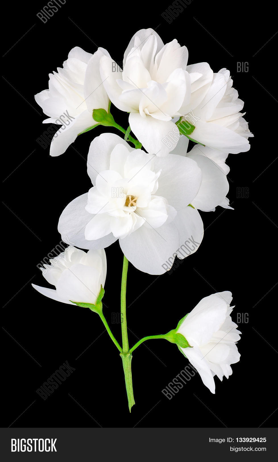 Branch jasmine flowers image photo free trial bigstock branch of jasmine flowers isolated on black background white jasmine flower jasmin branch with izmirmasajfo