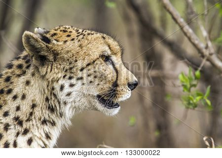 Specie Acinonyx jubatus family of felidae, cheetah standing in the bush in Kruger park