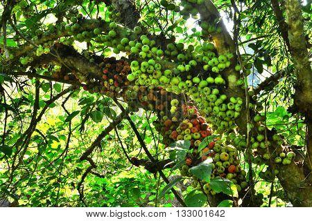 Common fig (Family MORACEAE Ficus hispida) .