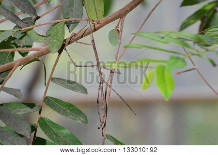 Northern Walking Stick (Diapheromera femorata) Perched on a Tree Branch