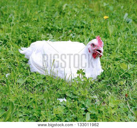 White broiler chicken walks on a green lawn