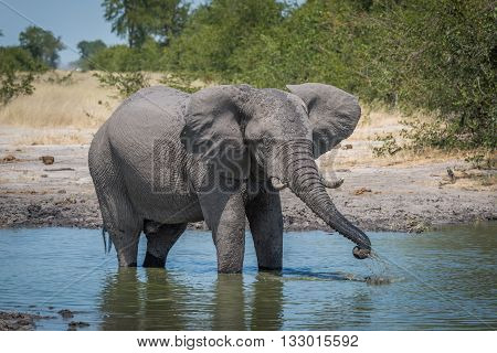 Elephant Drinking From Water Hole Using Trunk