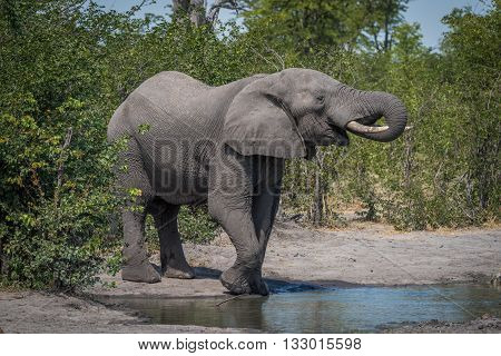 Elephant Drinking From Water Hole In Bushes