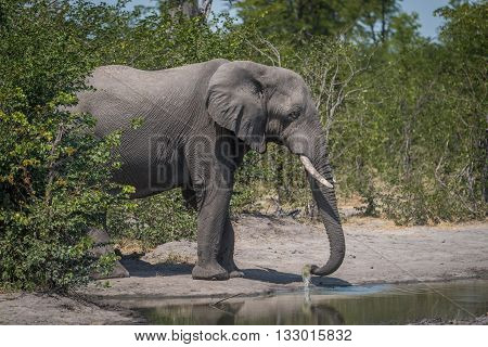 Elephant In Bushes Drinking From Water Hole