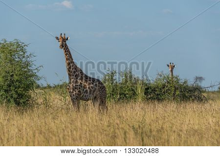 Giraffe In Grass With Baby Behind Bush