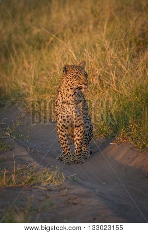 Leopard Staring Down Sandy Track In Grass