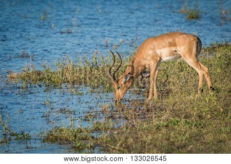 Male Impala Drinking From River In Sunshine