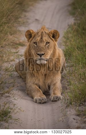 Male Lion On Track Staring At Camera