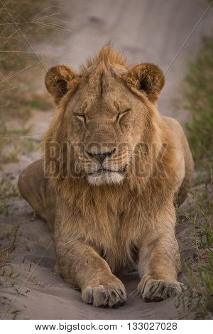 Male Lion On Track With Eyes Closed