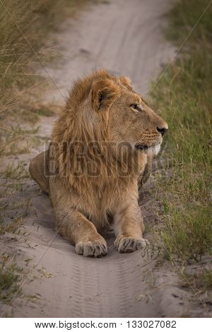 Male Lion Staring Right On Sandy Track
