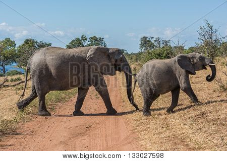 Mother And Baby Elephant Crossing Dirt Track